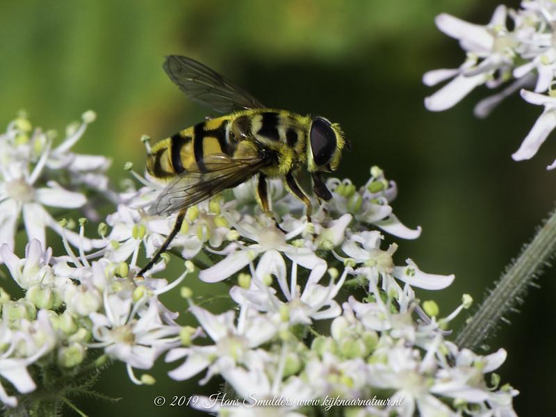 619_2383-Doodskopzweefvlieg (Myathropa florea)