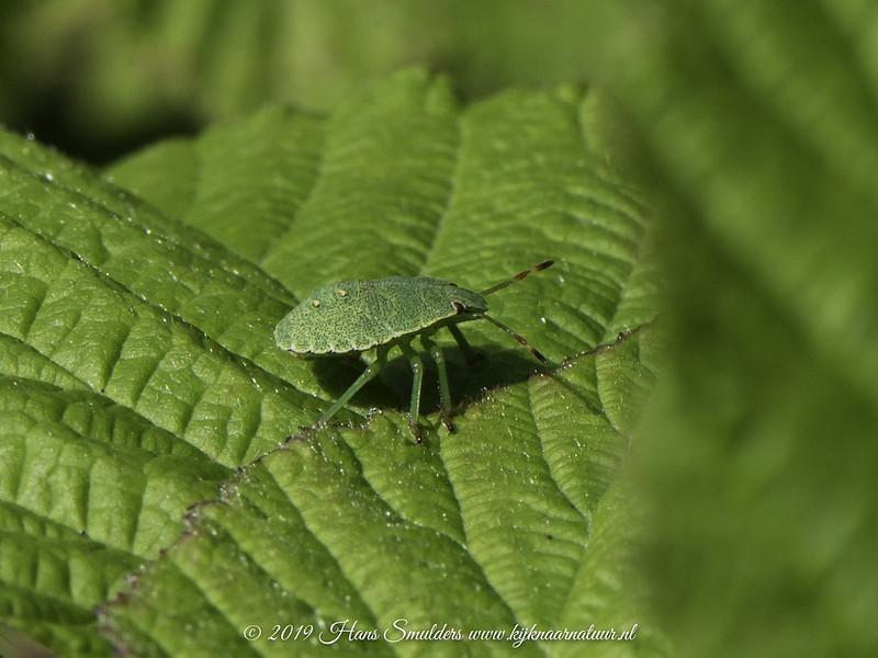 619_2413-groene schildwants (Palomena prasina)