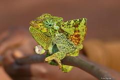 Caméléon d'Afrique / Chamaeleo gracilis / Graceful chameleon