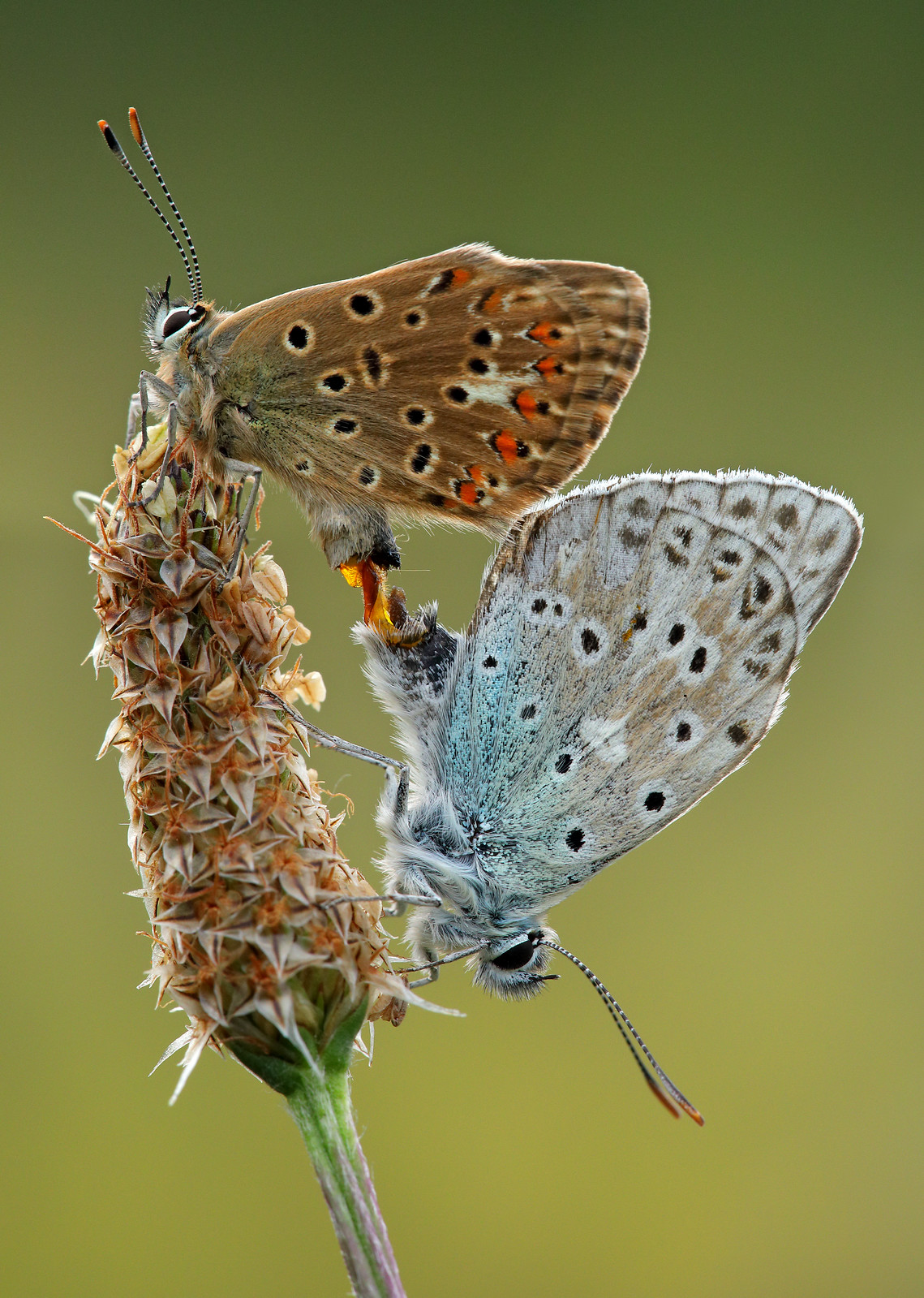 Mating Chalk Hill Blue Butterflies