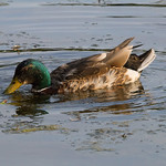 Mallard duck Longton brick croft-5