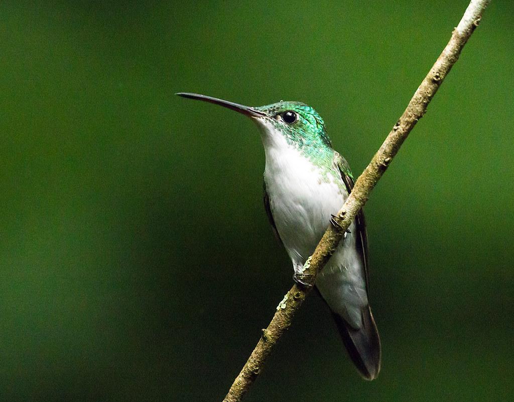0P7A2340  Andean Emerald  Hummingbird, Ecuador