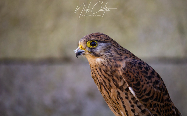Kestrel Close-Up