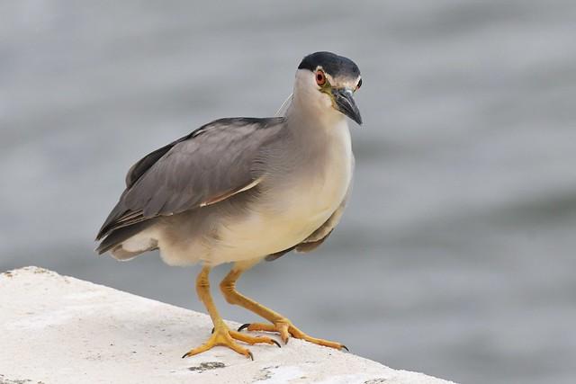 Bihoreau gris - Nycticorax nycticorax - Black-crowned night heron