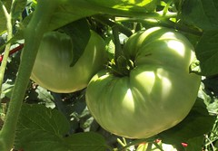 "HEIRLOOM TOMATO ""BRANDYWINE"""