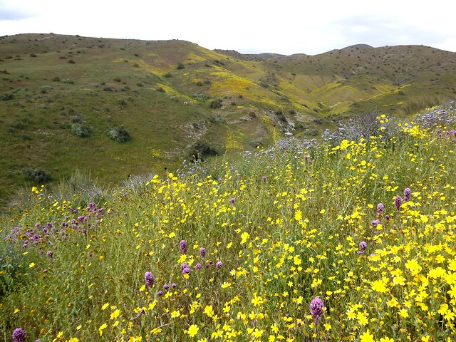 wildflowers - the temblor range