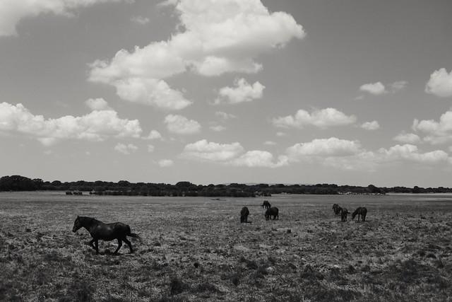 Wild horses in the Giara natural reserve, Sardinia