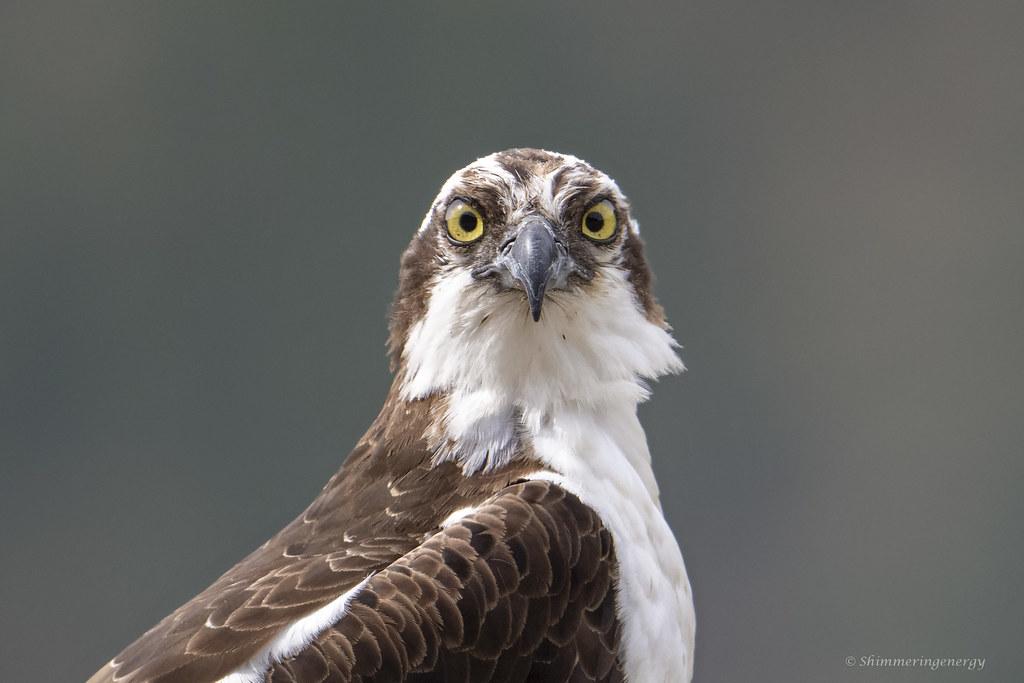 Osprey / Balbuzard pêcheur
