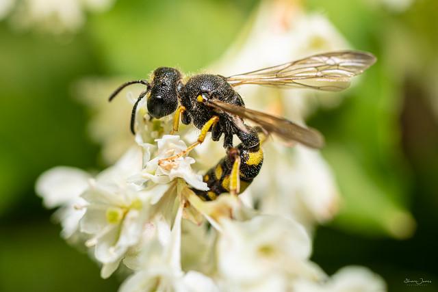 Digger wasp?