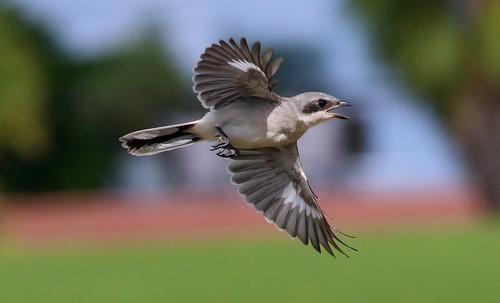 Loggerhead Shrike fledgling in flight!