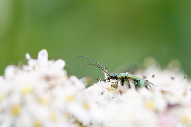 Lurking Flower Beetle