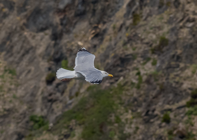 Herring Gull ( Larus argentatus )