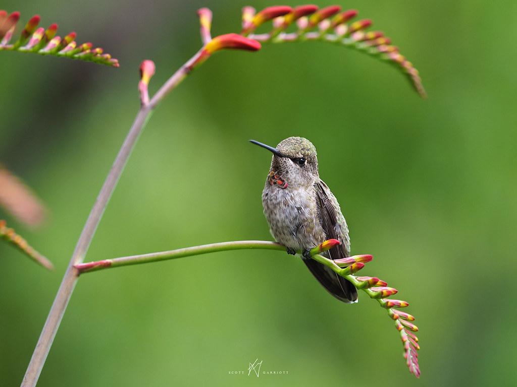 Resting Hummingbird - Vancouver Island