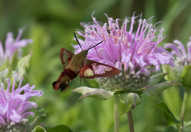 Clearwing Moth and Wild Bergamot