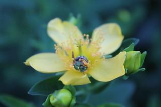 Green bee on Great St. John's Wort | by gradientgirl