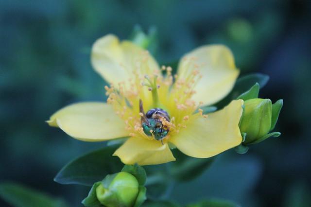Green bee on Great St. John's Wort