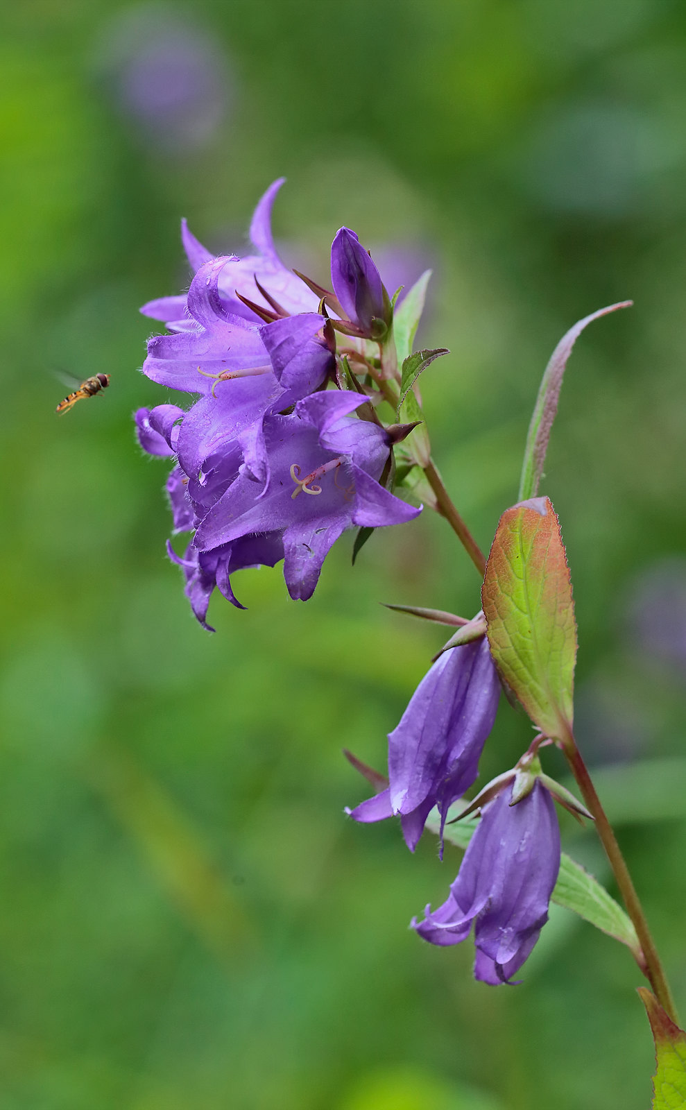 Giant Bellflower