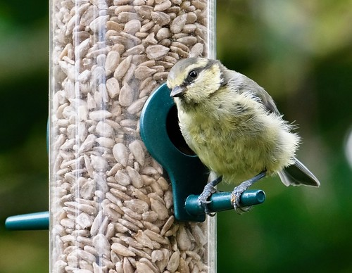Young Blue Tit – close up