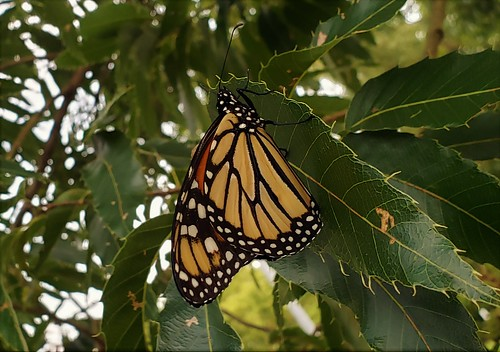Monarch Butterfly At Downs Park