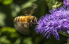 Bee on Ageratum.