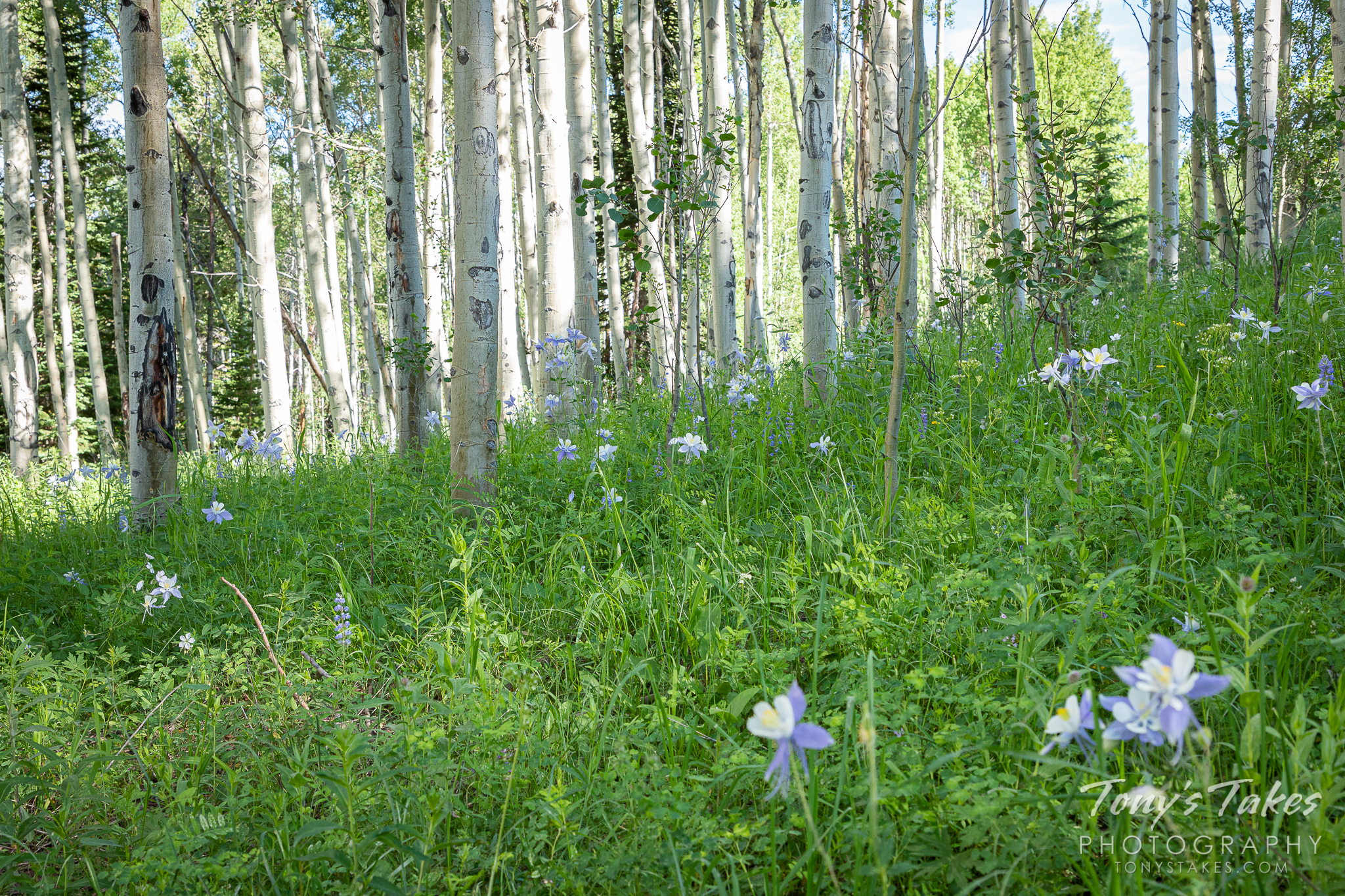 The forest floor under a grove of aspens is covered in columbines. (© Tony's Takes)