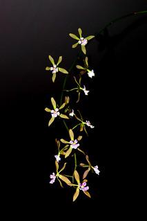 Encyclia Newberyy Dark Stars hybrid orchid 6-19