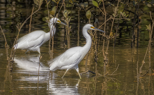 creatures of the mangroves - little egrets