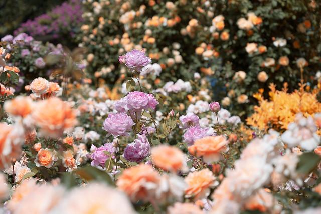 Golden rose garden