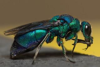 Cuckoo Wasp (Chrysis spp.)