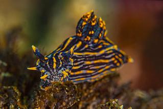 nudibranch11Jul5-19