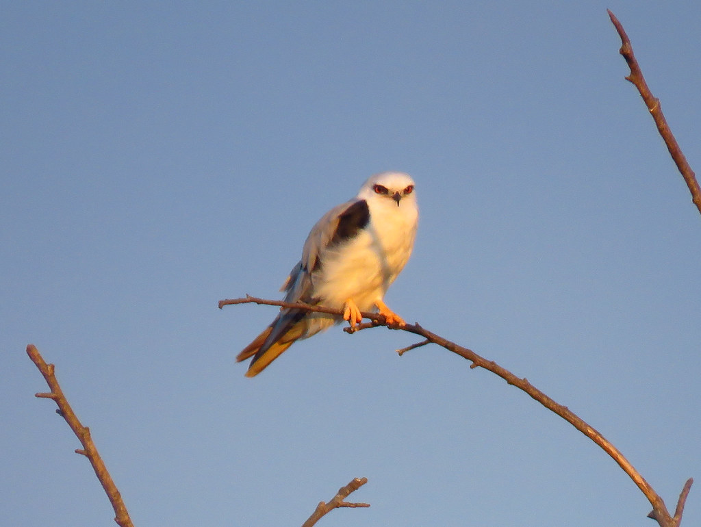 Perched White-tailed Kite