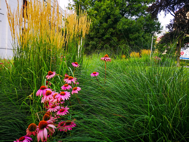 Coneflowers and the grasses.