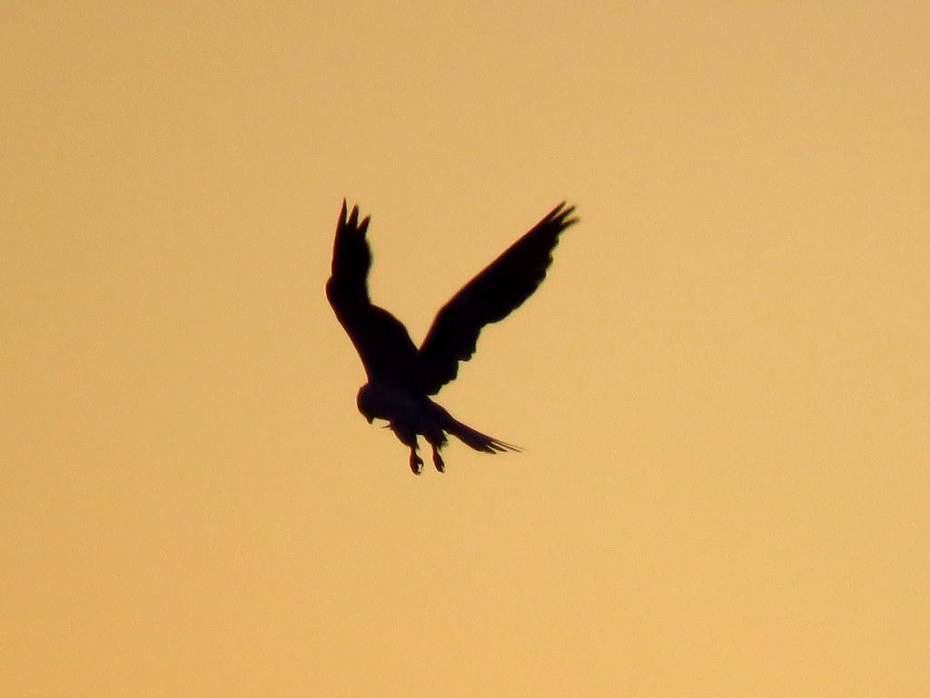 Kiting White-tailed Kite