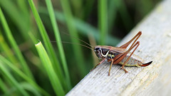 Roesel's Bush-cricket!