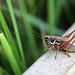 Roesel's Bush-cricket!