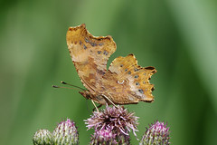 K32P5570c Comma, Woodwalton Fen, June 2019