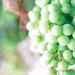 Budding grapes