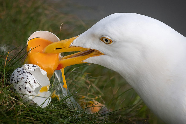 Herring Gull and Gullimot Egg...