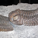 Phacops rana crassituberculata (fossil trilobites) (Silica Formation, Middle Devonian; quarry northwest of Paulding, Ohio, USA) 10