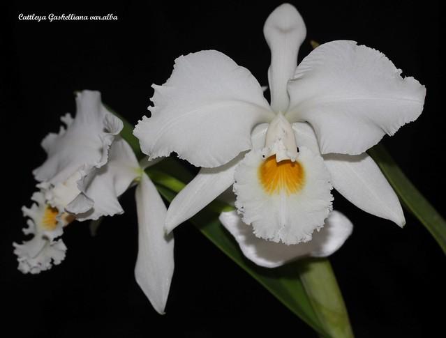 Cattleya gaskelliana var.alba 48328376596_7a8f618290_z