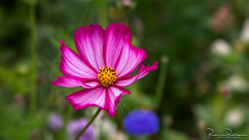 Mexican Aster (Cosmea)