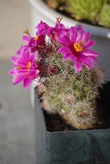 Cactus, Flowers