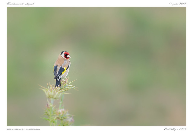Le chardonneret | European Goldfinch