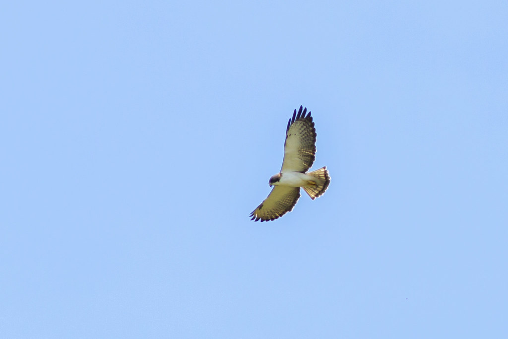 Short-tailed Hawk - South Florida