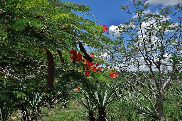 MEXIKO, Yucatán , Hacienda Sotuta de Peón, Sisalplantage , mit toller Flora, 19103/11764