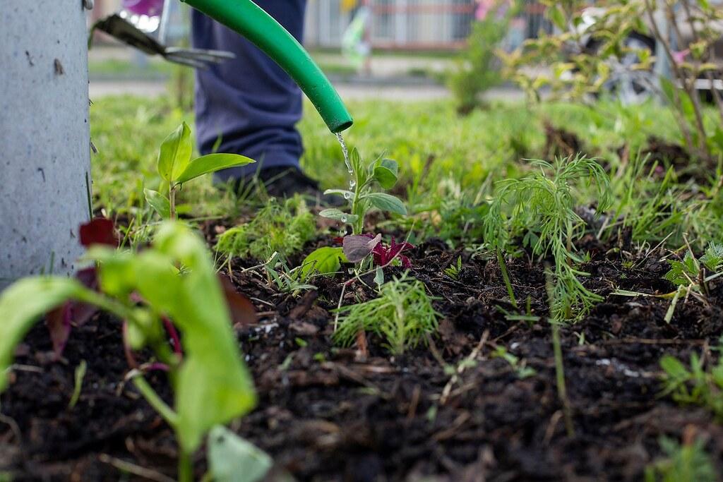 A fűkaszák martalékává vált a szegedi műjégpálya előtti körforgalomnál kialakított közösségi kert