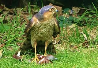 Male Sparrowhawk...