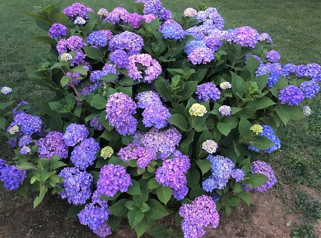 Hydrangea ~ so much color