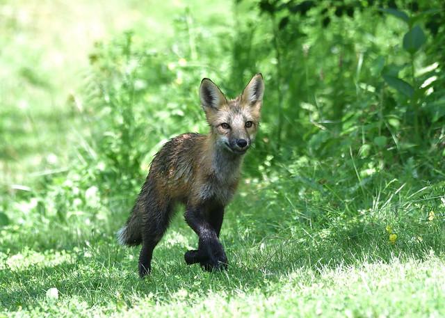 Doing The Fox Trot