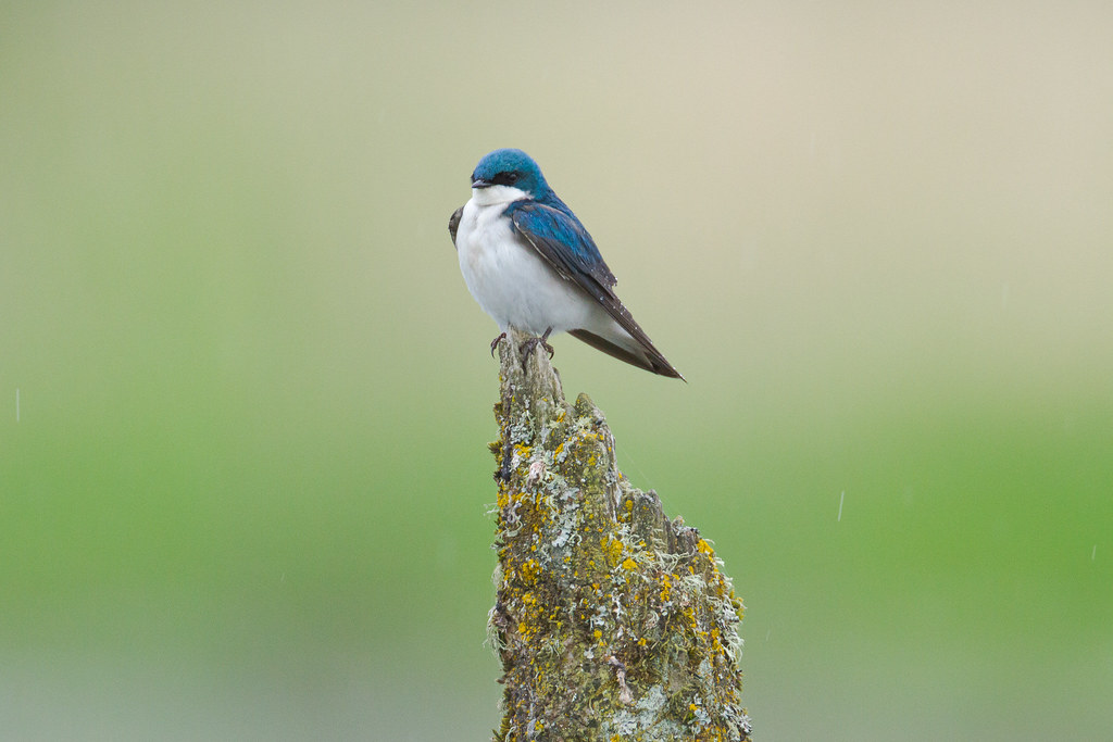 A tree swallow perches on a mossy dead snag in the rain at Long Lake on the auto tour of the River S Unit of Ridgefield National Wildlife Refuge in Ridgefield, Washington in May 2012